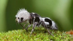 Panda Ant HD Wallpaper