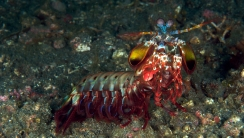 Peacock Mantis Shrimp HD Wallpaper