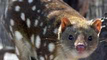 Spotted-Tailed Quoll HD Wallpaper