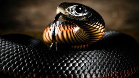 Black Mamba Snake HD Wallpaper