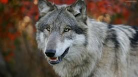 Gray Wolf HD Wallpaper