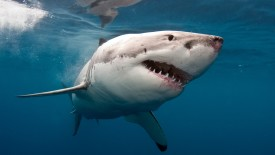 Great White Shark HD Wallpaper