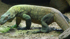Komodo Dragon HD Wallpaper