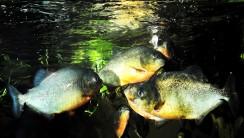 Piranha Fish HD Wallpaper